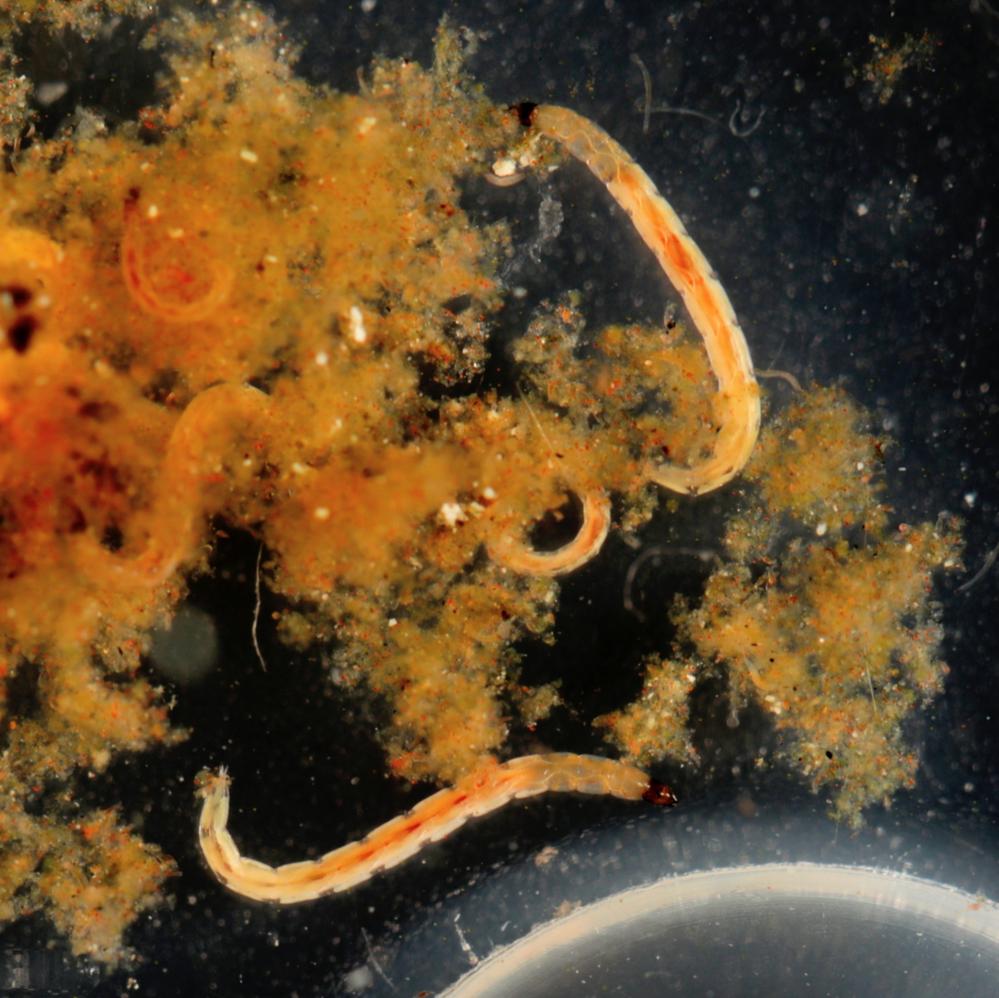 【虫注意】このアカムシのようなものは何でしょうか? 湿地系の食虫植物を育てるため、鉢の受け皿に水を張っていたら、底に溜まったモヤモヤした泥の中で大量にウネウネしておりました。 体長は1cmくらいでしょうか。マクロレンズで撮影したものを添付致します。 見た感じはアカムシそのものなのですが、冷凍赤虫や実験に使った赤虫に比べると、遥かに小さく色もずっと薄いです。 これもアカムシなのでしょうか?