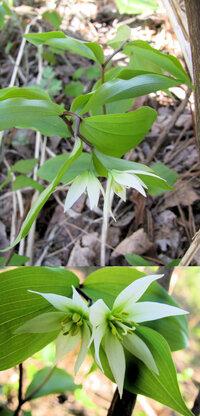 新型コロナウイルス蔓延という事で、結構 皆さん山(登山)や草原(キャンプ)など山野に行っているそうですが、 僕もカメラ片手に言ってみました。 画像 ↓ はそこ(山)で撮った写真です。  花の大きさは(目測で)1.5cmくらい? の白い小さな花です。 かなり寄って撮りました。 何という名前の植物・花でしょうか??