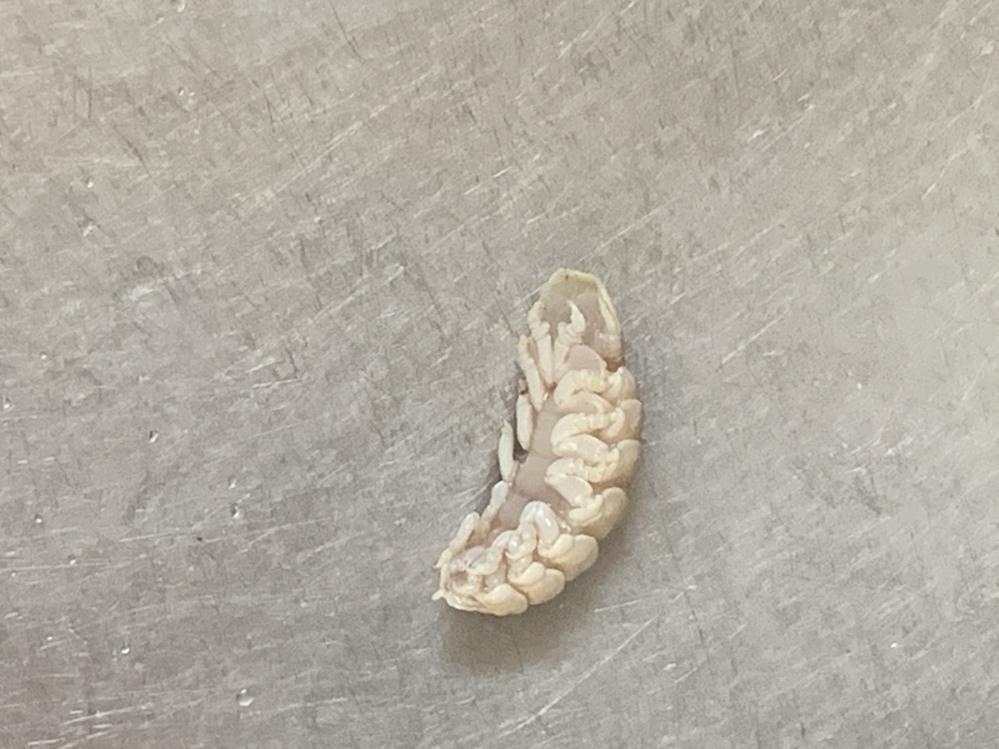 鯛をさばいていたら口の中にこんなものがいました。何という生物ですか?