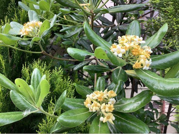 この木の花の名前を教えてください。