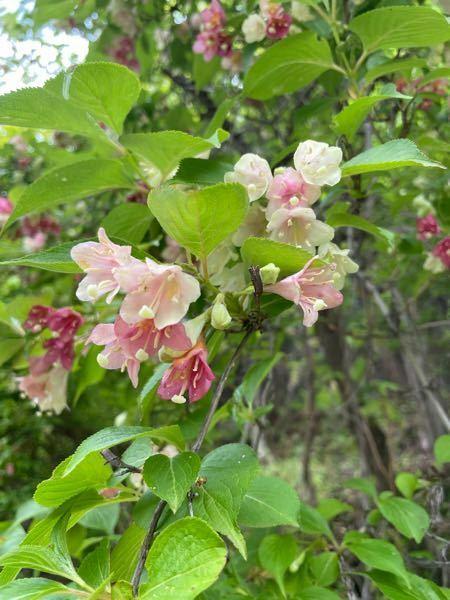 阿蘇の麓に咲いてます。何かおしえてください