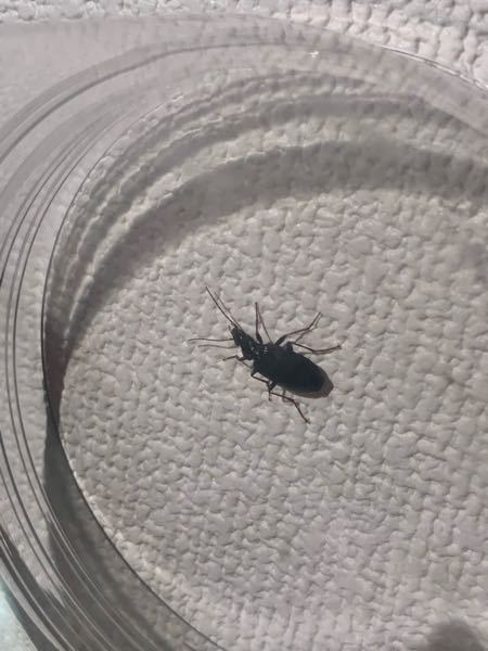 この虫は何か教えてください 部屋にいました^^