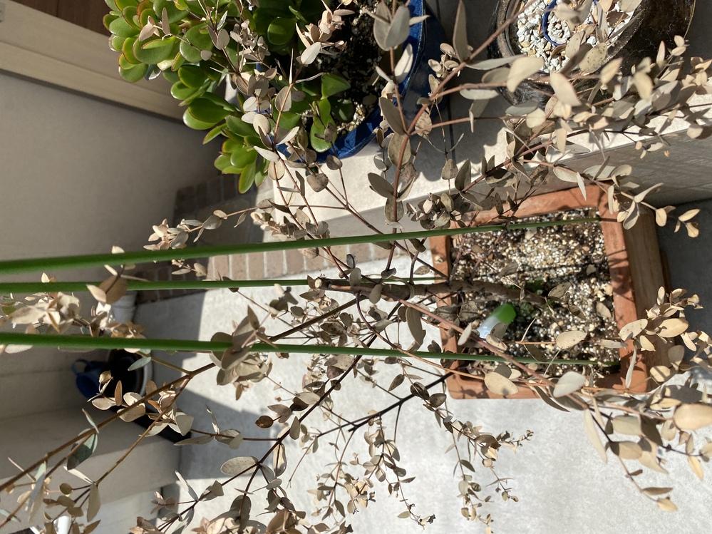 教えてください。 グニーユーカリが葉も枯れてるし、枝もパキッて折れてました。が、幹の根本から新芽が出て来ています。 上の枝もなんか弾力が出てきた用に思います。葉は枯れていますが。この後、どう見守ればいいのでしょうか?新芽の上あたりで幹を切った方がいいのでしょうか?教えてください。
