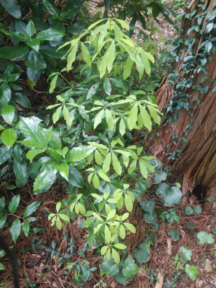 この黄緑色の低木の名前は何でしょうか?