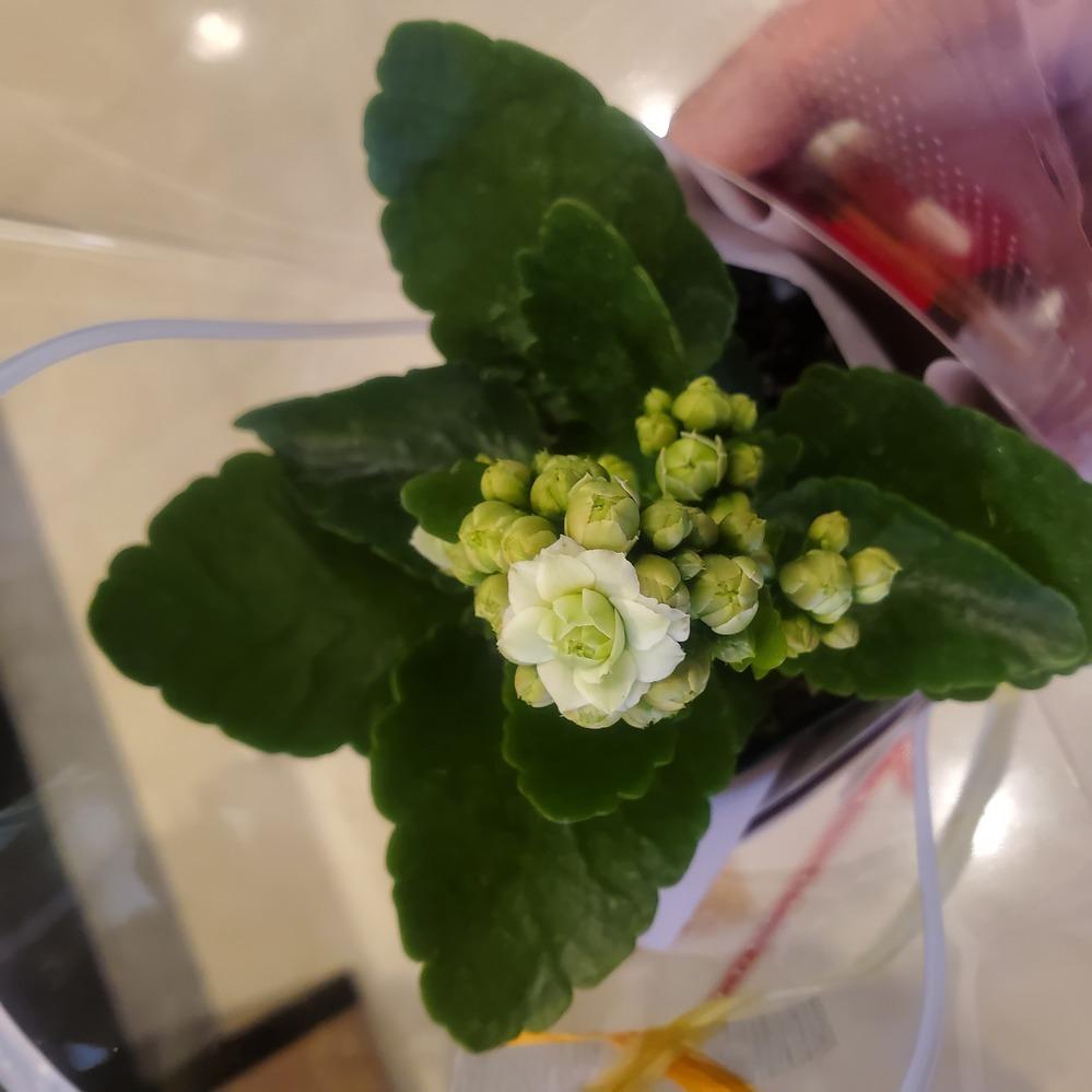 この花の名前を教えて下さい! 可愛い花なので母の日にプレゼントしようと考えております。スーパーの特設会場で売ってましたがそこに花屋がいなくて、スーパーの店員さんも何の花か分からないそうです笑