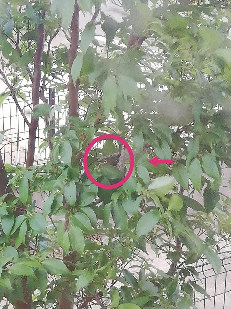 庭木に鳥が巣を作り卵を産んだようなのてすが、これは何の鳥でしょうか? スズメかと思っていましたが、目の周りの模様?が少し違うような気がして質問させて頂きました。