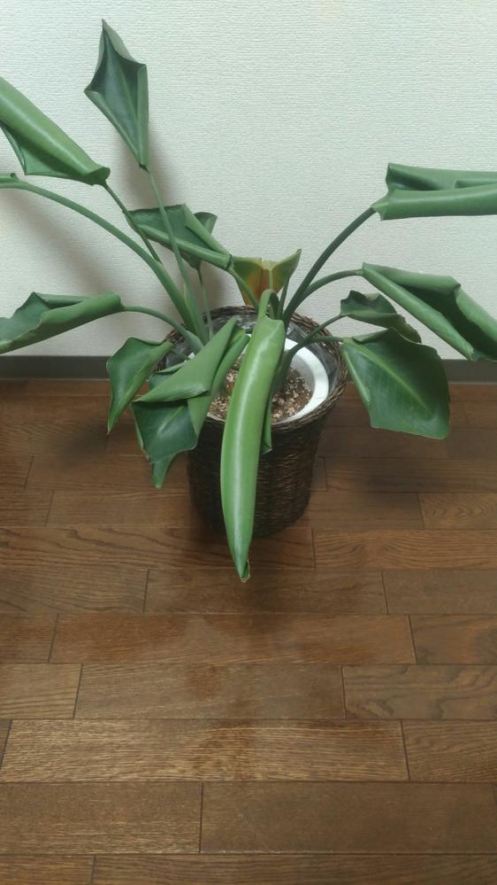 観葉植物について質問なんですが 観葉植物がじょじょに元気がなくなってきているのですが、どうしたらいいかわかる方がいれば教えてもらえませんか? 水は週に2、3回あげています。
