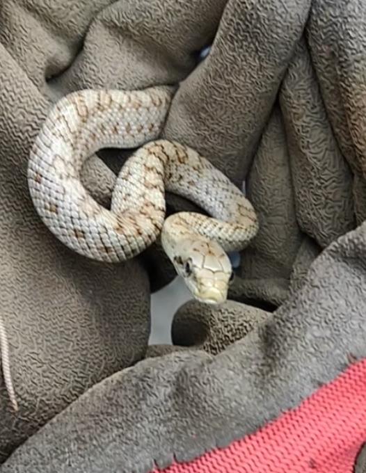 昼間見つけた蛇です。直径1.5cmほどの小さなものでした。 もう逃してしまったのですがどんな種類だったのか気になります。 詳しい方お教えください!!
