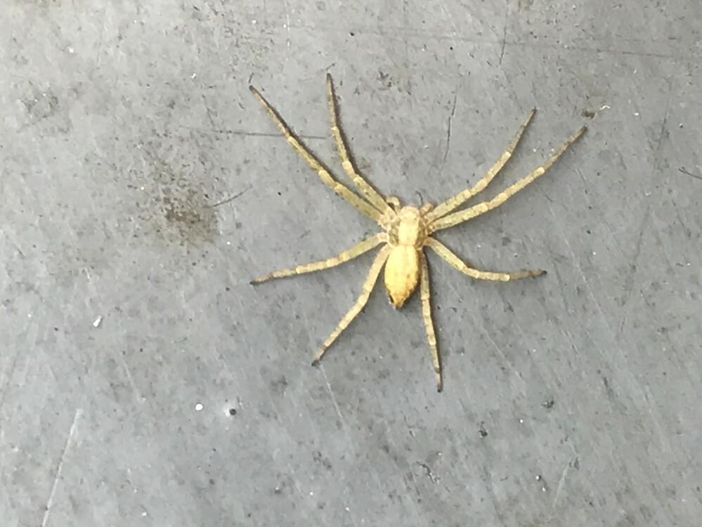 家の靴箱にこんなクモがいました。何グモか教えて欲しいです。足まで入れても1センチくらいでした。 薄い黄色ですが、実際はもっと白っぽく見えました。