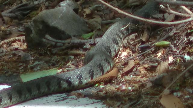 この蛇は何蛇ですか?静岡の山奥にいました。