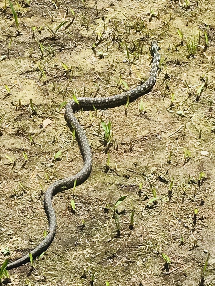 今日、白黒の蛇を見かけました。 生態ではなくて幼体でした。 調べたらシロマダラが出てきたのですが、シロマダラはシマがハッキリしていたので少し違うかな??と。 ヤマカガシの幼体は、首が黄色でした。1番近いと思ったけど、蛇のサイズにしては小さく感じました。もしかしたら元々と生態が小さいのかもしれませんが なにせ蛇に詳しくないので^^; アオダイショウを調べるともっとモザイクみたいな模様なのと大人になるとオレンジが入ったりしてたので、それもまた少し違うかなぁ?と 千鳥柄(っぽい)の白黒の幼体はどのような蛇が考えられますか? 土地は鹿児島の知覧です。 蛇博士の方お願い致します!