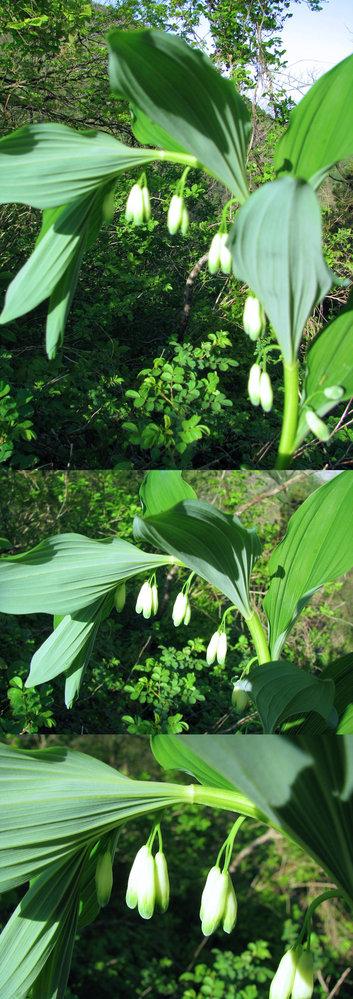 新型コロナウイルス蔓延という事で、結構 皆さん山(登山)や草原(キャンプ)など山野に行っているそうですが、 僕もカメラ片手に行ってみました。 画像 ↓ はそこ(山)で撮った写真です。 まだ花の咲いていない 蕾 だとは思いますが、 何という名前の植物でしょうか??