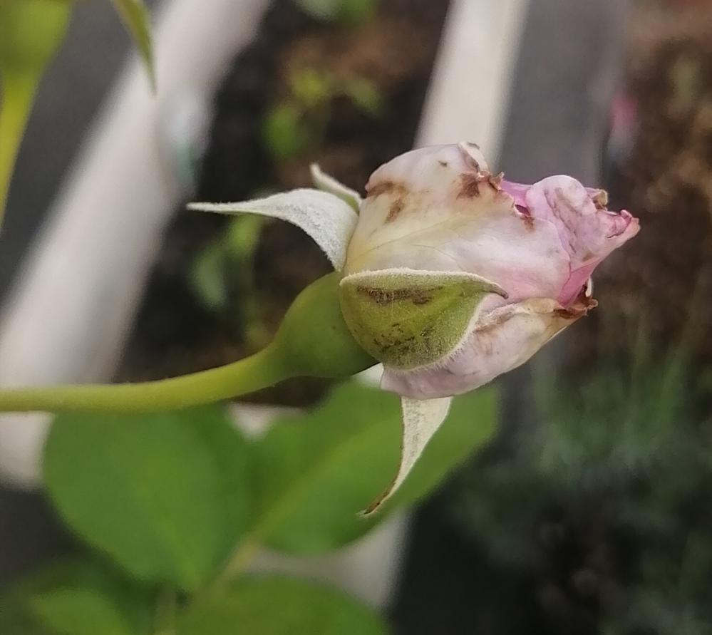 薔薇のつぼみが茶色いです。 病気でしょうか? 対処法教えて下さい!
