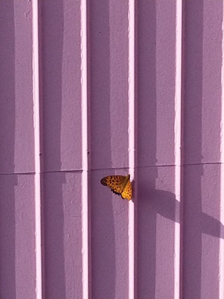 この蝶の名前を教えて下さい! 朝にベランダでお隣さんの壁にくっついて羽を広げたり閉じたりしていました。