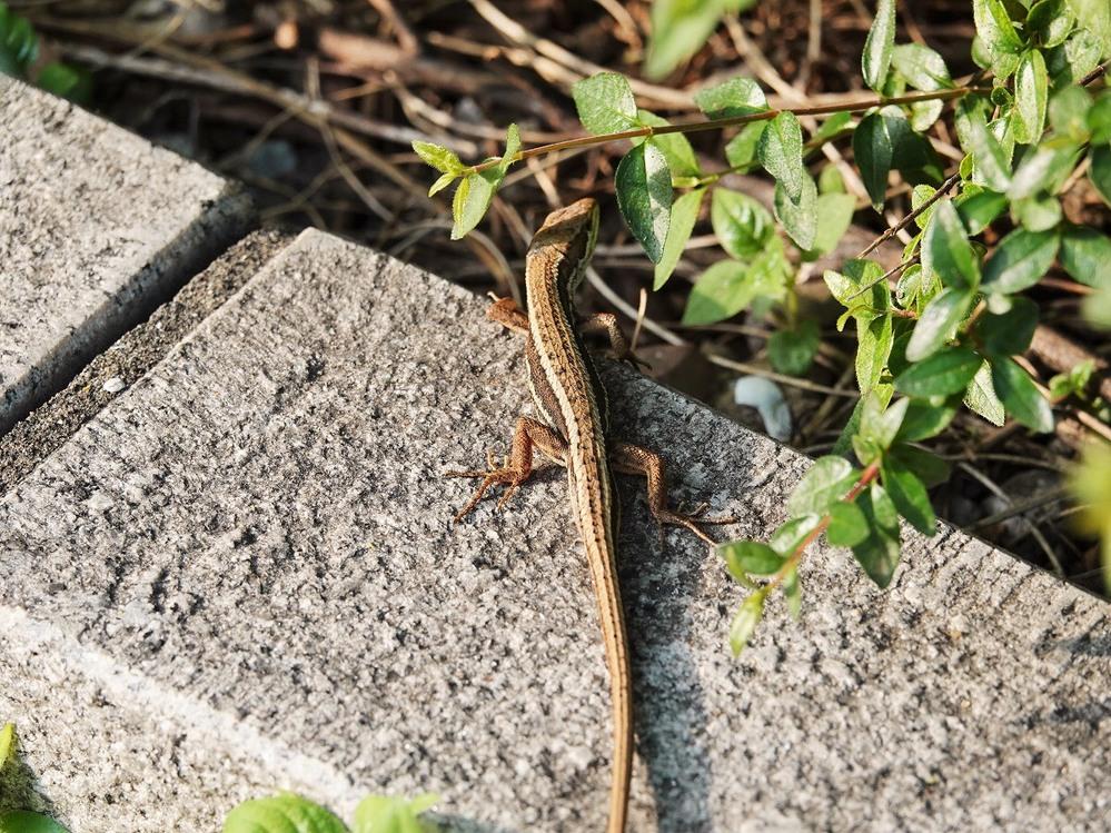 これはカナヘビですか?
