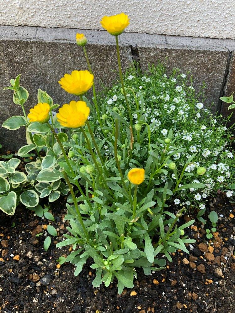 この黄色い花の名前が知りたいです! よろしくお願いします。