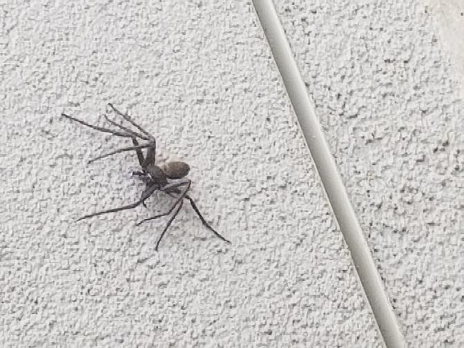 至急。閲覧注意。 5~6センチの大きいこの蜘蛛にかまれました。 痛みが強いです。 毒くもとかではなければ 病院は行かなくても大丈夫でしょうか? くもの種類などわかる方、教えてください。