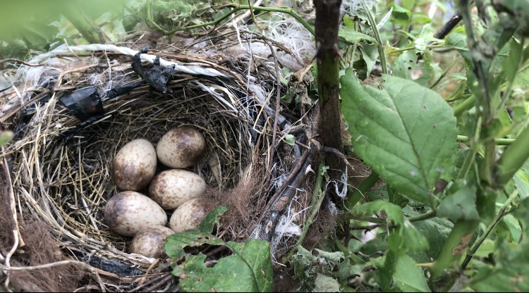 庭で見つけたのですがなんの鳥の卵だか分かる方いらっしゃいませんか。。