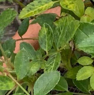 画像が荒くてすみません。 買ったバラの鉢植えなんですがこれは黒点病ですか? ベニカXファインスプレーを一回したんですけど、殺菌スプレーの用なものも買った方がいいでしょうか? 葉が黄色くなり、触ると根本から外れてしまいます。 対処法を教えてください。よろしくお願いします。
