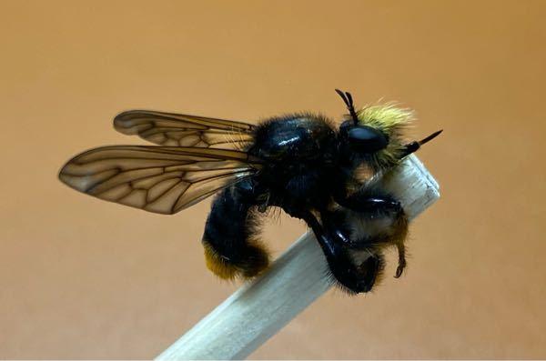 何と言う名前の虫か分かる方教えてください! 背中の毛は黒く、尾は濃い黄色の毛です。また、針を持っています。大きさは1.5〜2.0センチくらいです。 ハエかアブ系だと思うのですが、具体的な名前が分からないので教えていただきたいです。