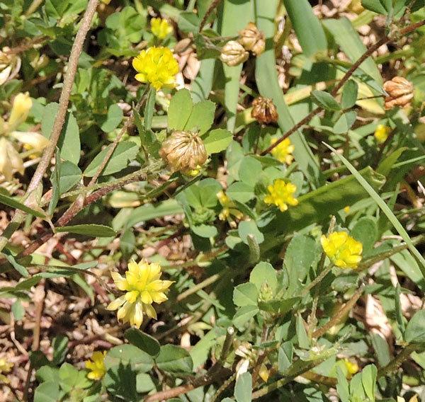 今日、北九州市の郊外で見た野草2つの名前を教えて下さい。 一つ目は黄色の花です。黄色のクローバーのようです。黄クローバーというのはあるでしょうか?