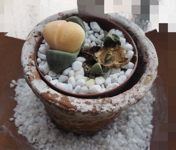 令和の桃太郎と言う多肉植物ですが 2つある中、ひとつが溶けてしまいました。原因ともう一つのをどの様にすれば良いでしょうか?