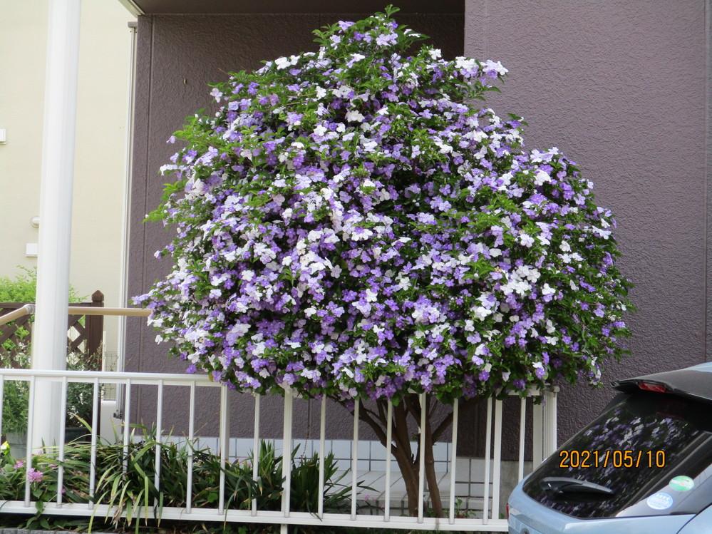 花があまりにも綺麗で見惚れてしまいました。この樹の品種名が分かるかたがいれば教えてください。