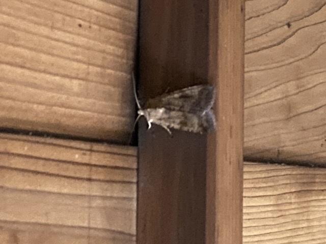 何という蛾か、分かりますか? 天井についていたので遠くて、写真ボケていてすみません。 三サンチくらいで、結構大きいです。 駆除する際に、バタバタ暴れさせてしまったので、鱗粉がかなり舞ってるのではと不安です。 毒はあるのでしょうか?
