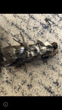 この蛾を会社の倉庫で見かけるんですが 種類分かりますか? 幼虫や卵は 見たことないので 成虫が ダンボールなどに付いて来たとしか思えないのですが 外国の蛾?って会社の人と話してます。