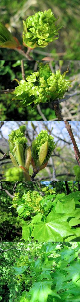 新型コロナウイルス蔓延という事で、結構 皆さん山(登山)や草原(キャンプ)など山野に行っているそうですが、 僕もカメラ片手に行ってみました。 画像 ↓ はそこ(山)で撮った写真です。 花束のような花? が印象的な樹木でした。 何という名前の植物・樹木でしょうか??