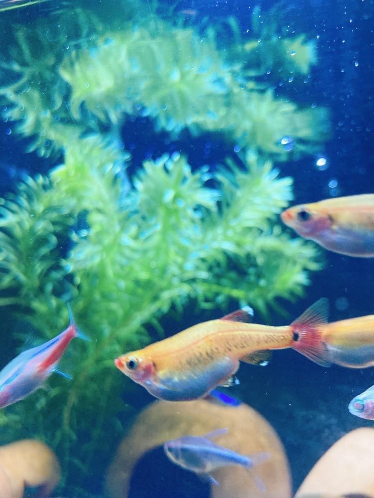熱帯魚を飼育しているのですが、2匹だけお腹がすごく出ています。写真には1匹しか写っていません。卵を産むのでしょうか。 腹水病という病気もあるらしいので心配です。