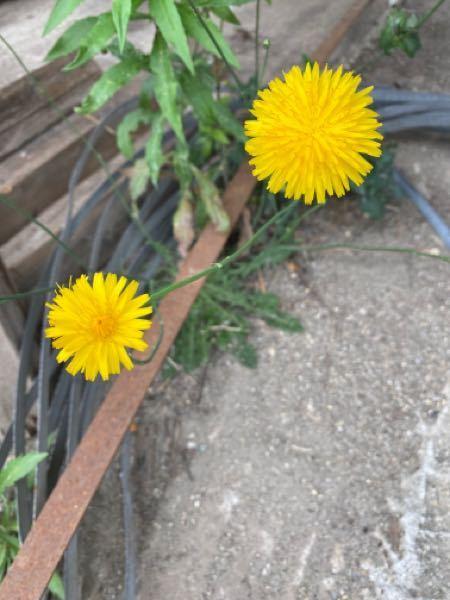 このお花の種はどうやって取れるのでしょうか。 教えてください。 よろしくお願いします。