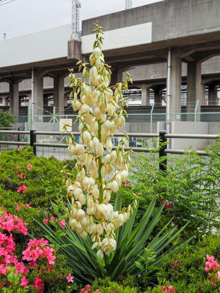 近所の公園にひとつだけ咲いていた花です。 名前おわかりになる方、教えてください。 よろしくお願いします。