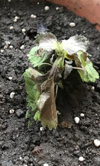 青じそ(大葉)栽培について質問です。  先日、庭から鉢植えに植え替えをしました。 その1日後には画像のように黒くなりしおれてしまったのですが、原因が何かわかる方はいらっしゃいませんか?  植え替えの際に、根を傷つけたのか、肥料のやりすぎなのかと考えています。 次は枯らせてしまわないように原因が知りたいです。  もし画像からお分かりになる方がいましたら教えて頂けると幸いです。