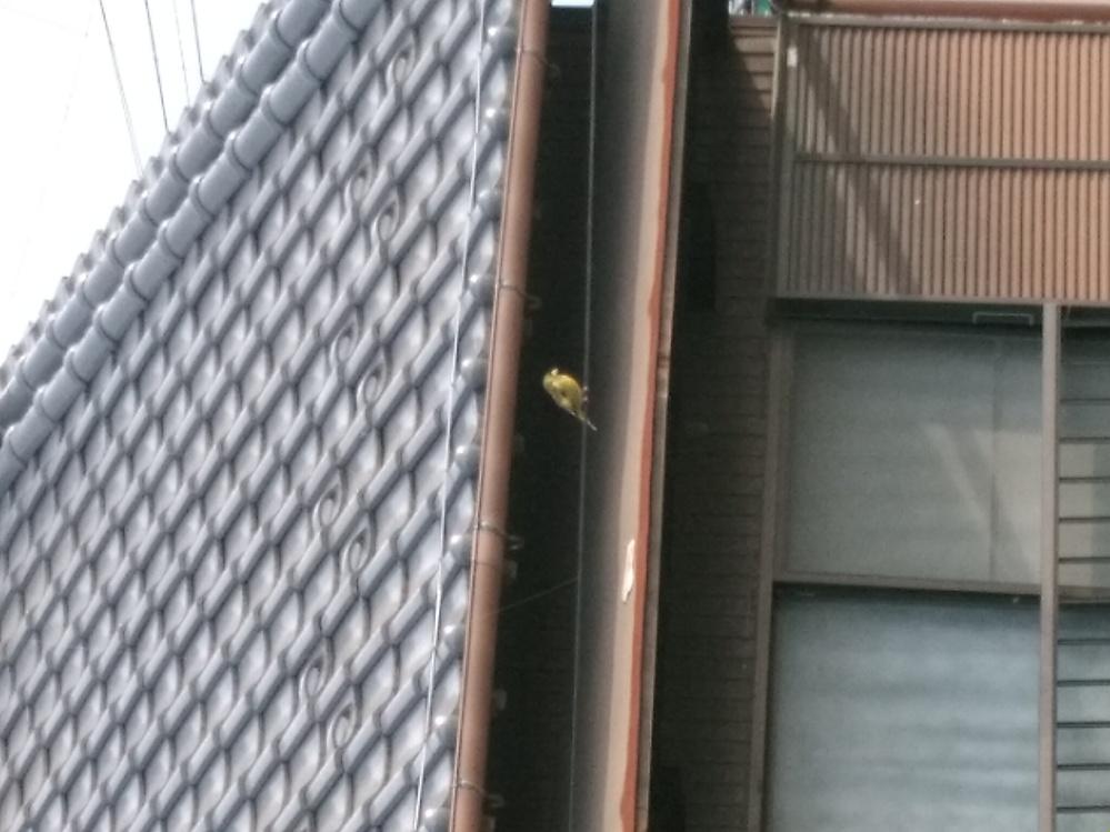 詳しい方よろしくお願いします。 今家の目の前の電線に止まっていた鳥です。 ・雀より小さい ・くちばしが黄色 ・体が鶯色か黄色? ・横腹?羽?に白模様が2つ ・めの回りは黒色 つがいみたいで2匹で飛んでいきました。 とても綺麗だったので名前教えて欲しいです。 よろしくお願い致します。