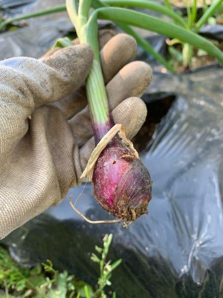 初めて紫玉ねぎを育てているのですが、 誤って引っこ抜いてしまいました。 晩生の、湘南レッドという品種です。 収穫はまだまだ先で、 ほんの少しだけ根が残っている状況です。 ①こちらはまた植え直して問題ないか、 もう諦めた方が良いのか教えてください。 もしもこのまま植えてても意味がなければ 食べたいのですが、 ②この大きさの玉ねぎは食べられるのでしょうか?