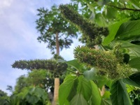 こちらの植物の名前ご存じでしたら教えてください。 よろしくお願いいたします。 沖縄県です!