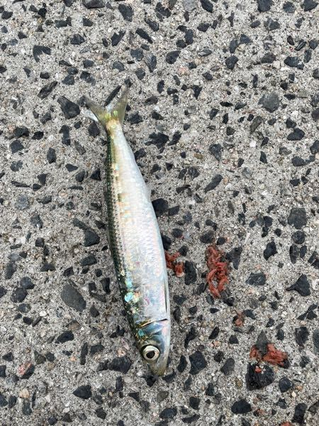 なんの魚ですか?