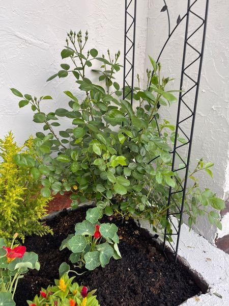 去年の秋に1本の20cm位の枝で購入した薔薇が大きくなりました。 確かツルバラだった気がしますが、今後後ろの支柱に這わしていくには今何をするべきですか? 枝が多いので剪定とかするべきですか? 去年園芸を始めたオジサンですので素人でも分かり易いアドバイスをお願いします。
