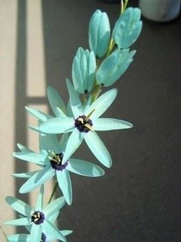 近所に、見た事のない色の花が咲いていました。 家の人に聞いたところ、イキシア・ビリディフローラというんだそうです。 見た事のない青い色でした。 イキシア以外で、こんな色合いの花は有りますか?