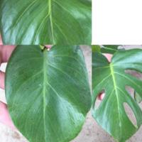 モンステラの葉っぱにこんや斑点ができています。何病なのでしょうか?根元に近いほうが斑点が多いです。 治し方教えてください。 また、斑点の出ている葉っぱをカットすれば大丈夫でしょうか?
