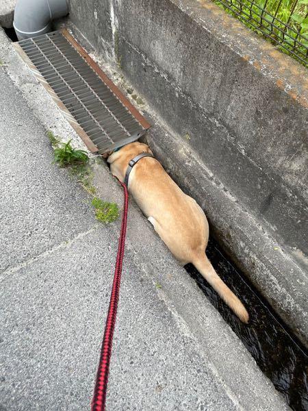 犬が散歩中に用水路と言うかドブ川に入るわんちゃんを良く見かけますが、衛生的に大丈夫なのでしょうか?