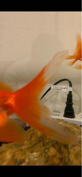 写真の金魚は赤斑病でしょうか?