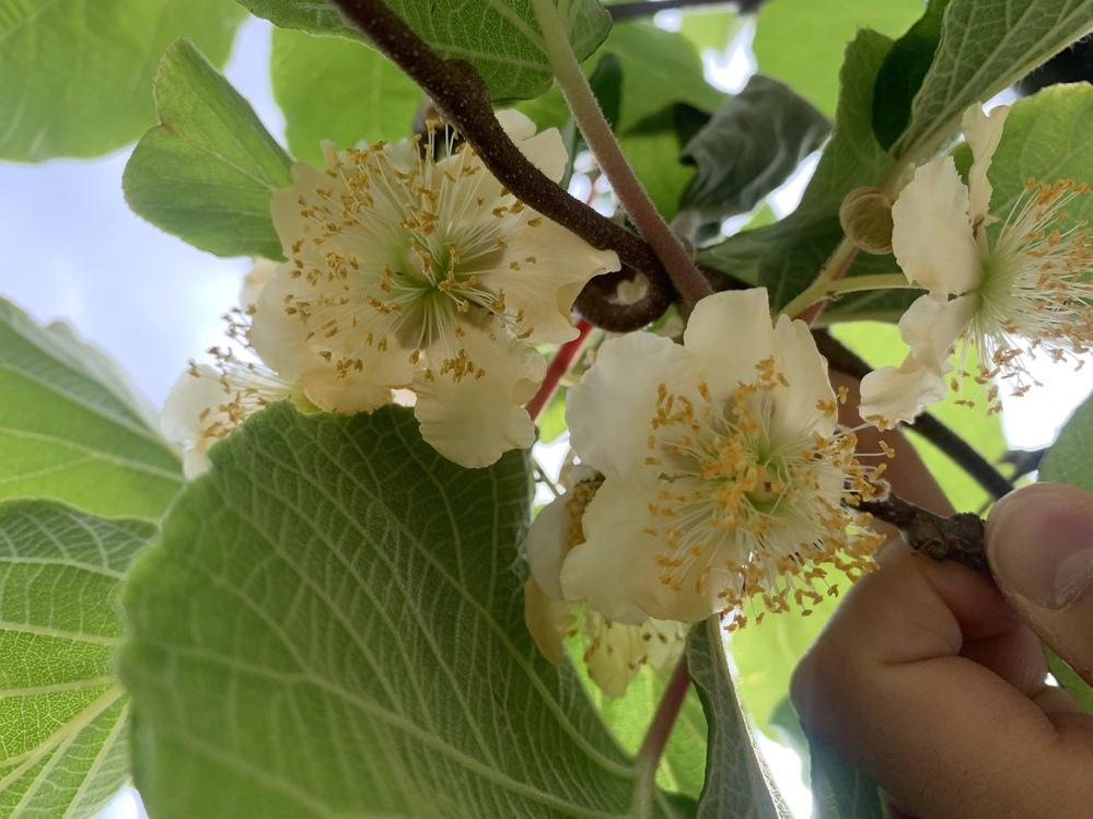 キウイの木を育てています。 今年で4年目ですが、一向に実をつけずもしかするとどちらも雄木ではないかと心配のなってきました。 植えている2種類の花の画像を投稿しますので、雄木か雌木か見ていただきたいです。 写真の上と下の花が別々の種類です。 自分で花粉を購入して付けてもみましたが昨年もダメでした。ちなみに品種は不明です。 よろしくお願いします。