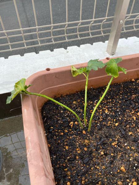 家庭菜園初心者です。 2、3週間前にオクラを苗から植えたのですが、中々大きくなりません。オクラの赤ちゃんみたいな蕾はいくつかついているのですが。これは枯れてますか?このまま水を上げ続ければ大きくなる可能性もありますか?