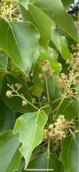 こちらのお花の名前分かりますか? 今の時期に咲いてます。 木に咲いております。 あと、とってもいい匂いがします。