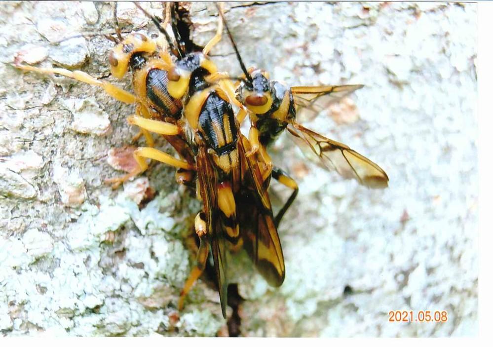 教えて下さい、この蜂のような虫は何というのでしょうか?