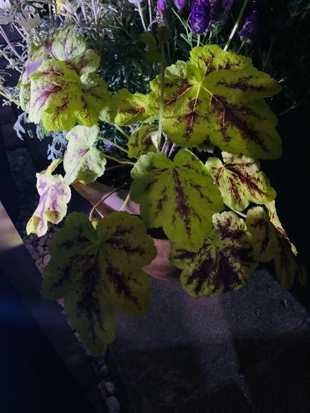 この植物の名前を教えて下さい。 頂いた寄せ植えに入ってたのですが、育て方を調べたくても名前が分からず。 どなたか教えて下さい。宜しくお願いします。写真が暗くてすみません。