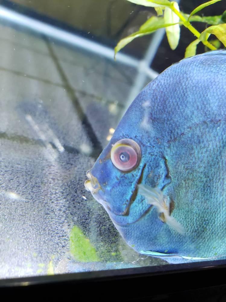 熱帯魚 ディスカスについて質問です。 目が白くなってるのですが 何の病気でしょうか? ミズカビ病なら今すぐ薬入れるんですが 熱帯魚屋に電話したら pHの下がりすぎじゃないかって言われ、 水換えして2〜3日様子見って言われたのですがその2〜3日の様子見で死んだら嫌なので詳しい方教えて下さい。 pHは7.7 餌は赤虫、ハンバーグ 目の上の白くなってるのも この前まではありませんでした。 昨日1匹死んでしまい残り3匹いるのですが そのうちの2匹が目が白くなっています。 教えて下さい。お願い致します