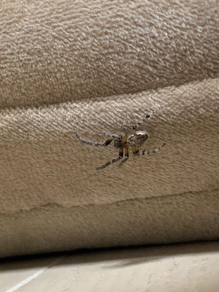 この蜘蛛はなんですか? アシダカグモ、オオヒメグモ、ハイイロゴケグモ、が調べてて候補にあがってきたのですが、ハイイロゴケグモに関しては有毒らしいので殺すか迷ってます。教えて下さい!